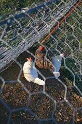 chicken fence or mesh