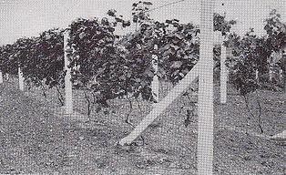 concrete vineyard posts