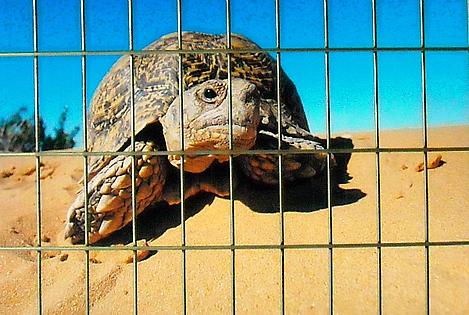 desert tortoise fence resized 600
