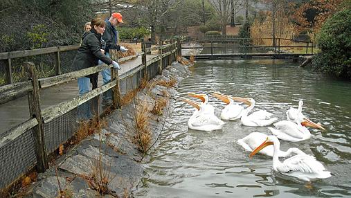 Birminham Zoo pelicans