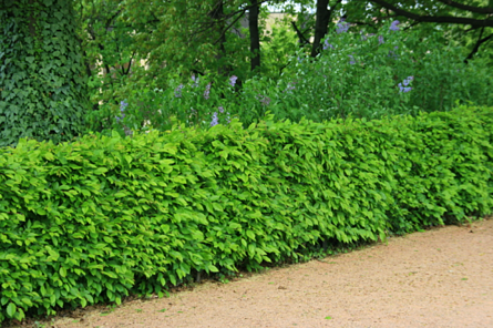 living fence--hedge