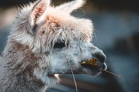 Furry white alpaca face
