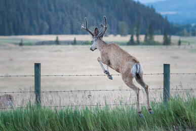 deer jumping over barbed wire fence