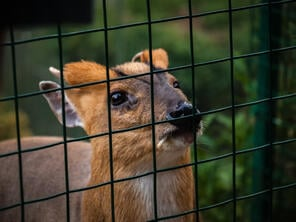 fawn behind black welded wire fence
