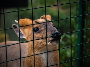 deer behind vinyl coated welded wire fence