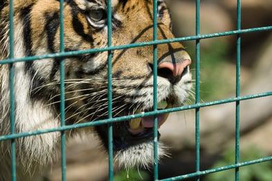 tiger behind peeling green vinyl coated fence