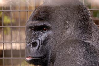 Gorilla and Fence