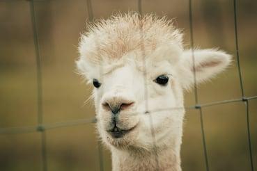 Llama behind fence