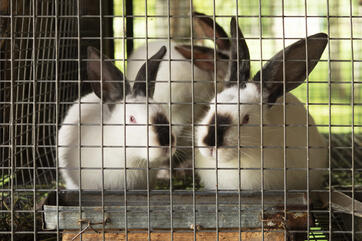 3 bunnies in welded wire cage