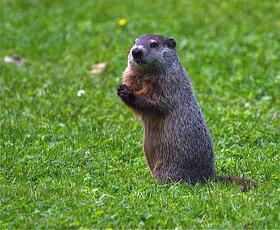 Woodchuck on lawn