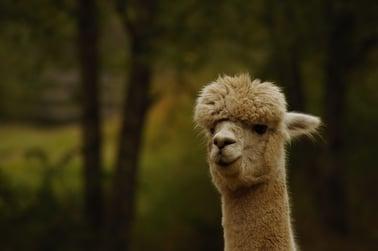 alpaca neck and face portrait