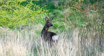 deer in thicket