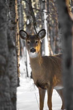 portrait of deer between trees in winter