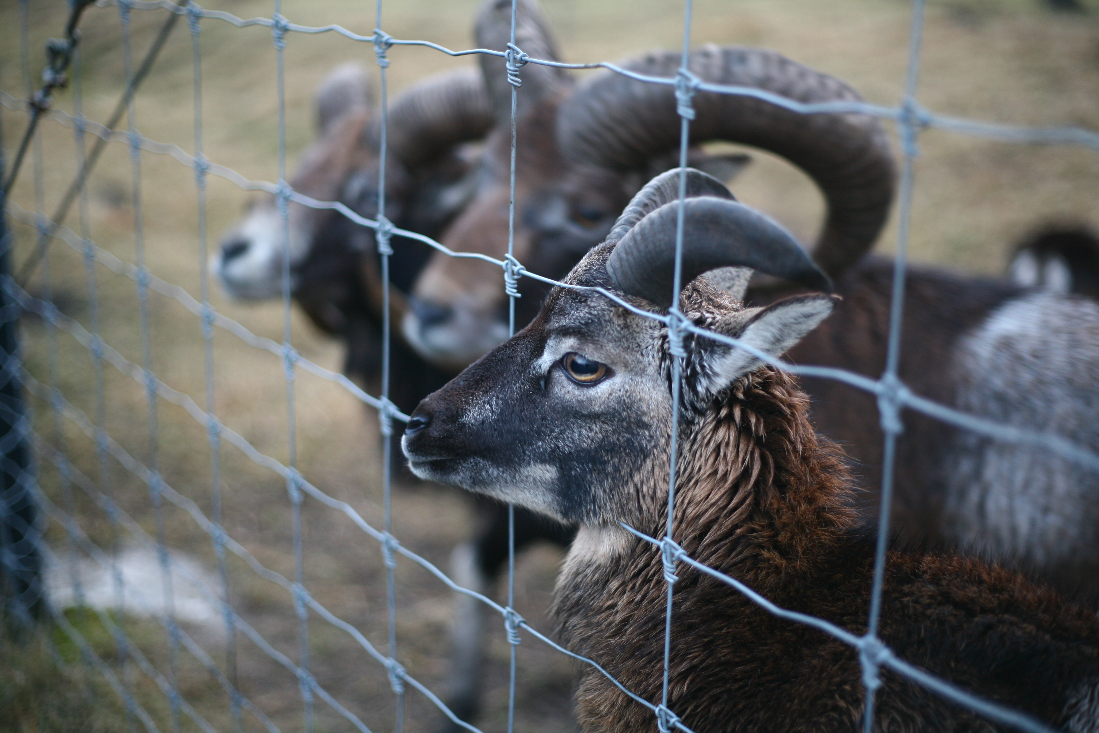 rams standing by a fixed knot fence