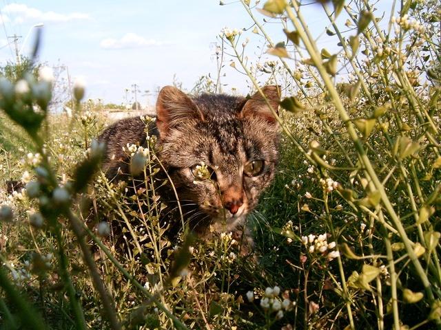 cat stalking in brush