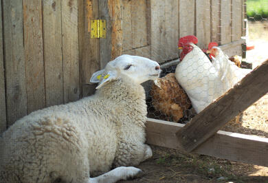 chickens and sheep