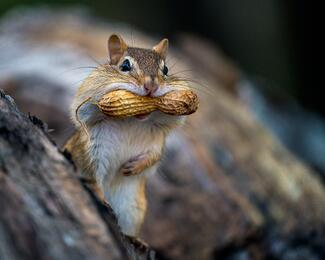 chipmunk with peanut