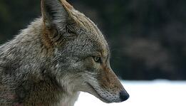 coyote head in profile with snow in background