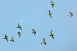 flock of birds in flight against blue sky