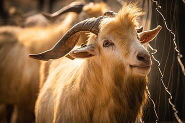 goat next to fence on sunny day