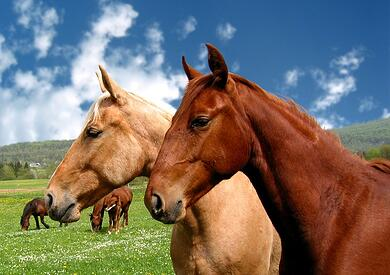 horses in field with blue sky