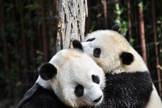 two pandas embracing