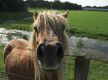 pony looking over fence