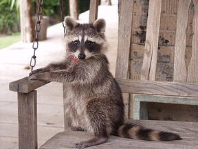raccoon on porch swing