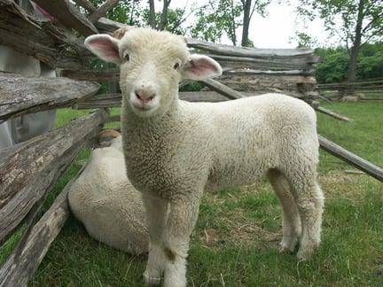 lamb behind worm fence