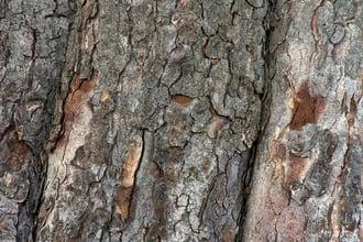 Tree bark scarred by rutting bucks